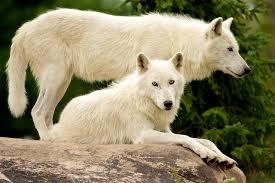 Value-Wolves